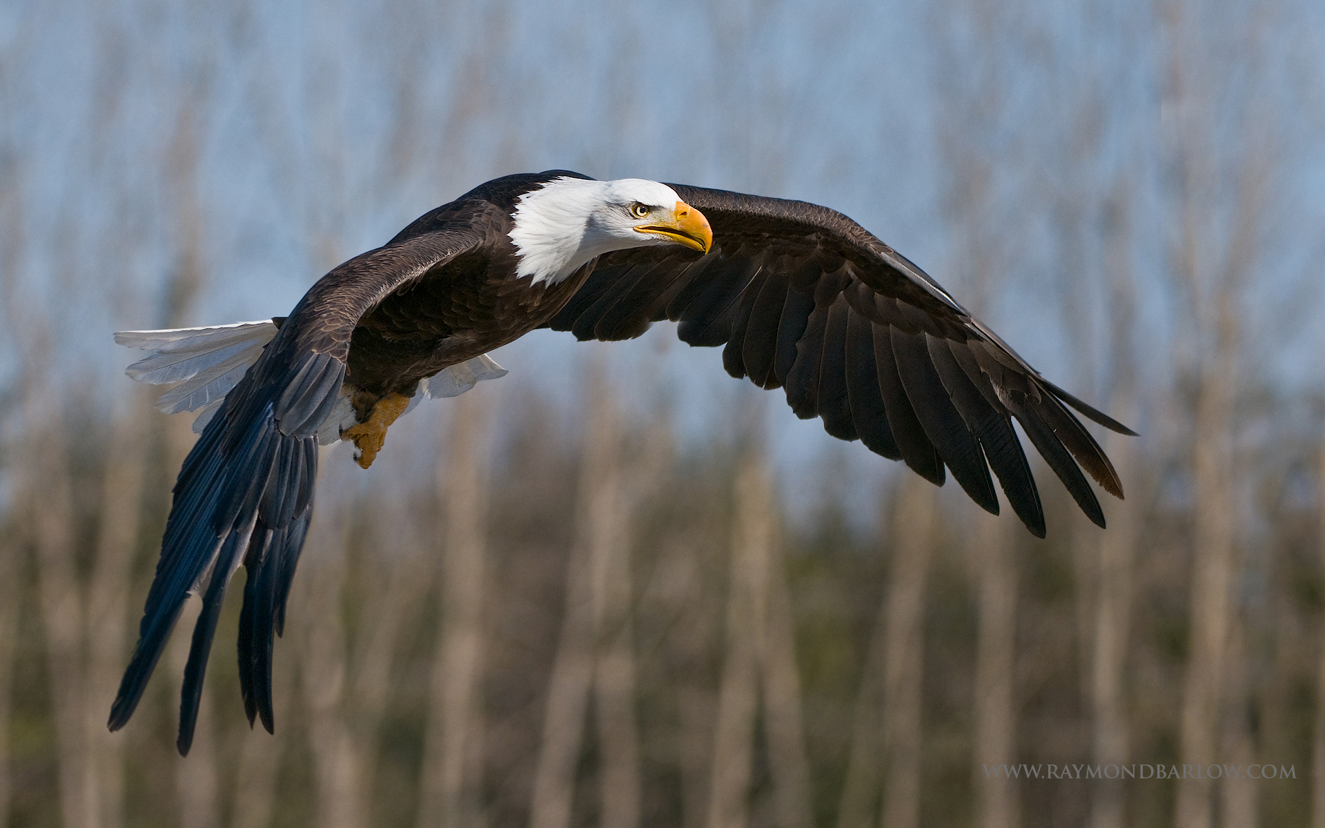 Bald Eagle - Bev